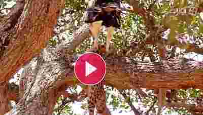 صحنه حیرت انگیز شکار یوزپلنگ توسط عقاب غول پیکر
