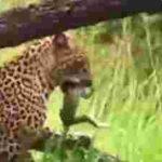 ویدئو کلیپ شکار وحشیانه بچه میمون توسط پلنگ