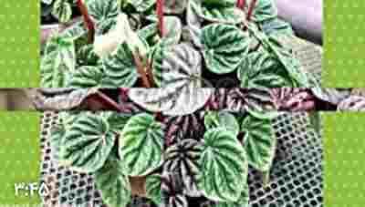 آموزش کاشت و نگهداری گیاه پپرومیا کاپرا - گیاهان آپارتمانی