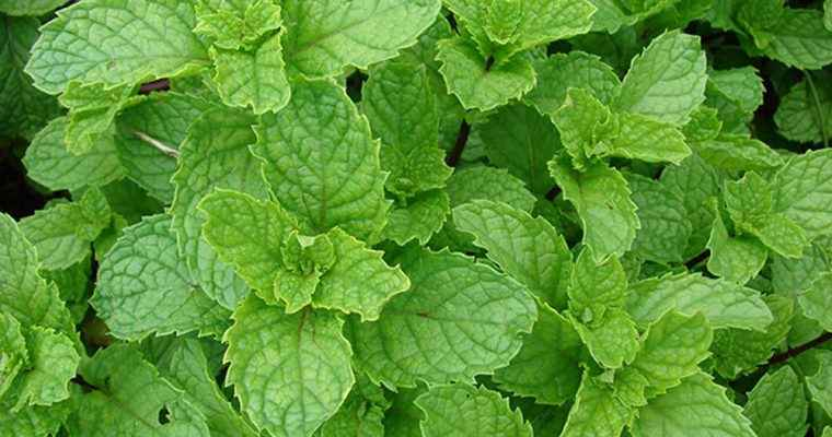 خواص پونه (Pennyroyal)در طب اسلامی ایرانی سنتی گیاهی