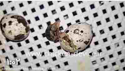 ویدئو کلیپ ویدیو جالب از بیرون آمدن بلدرچین از تخم