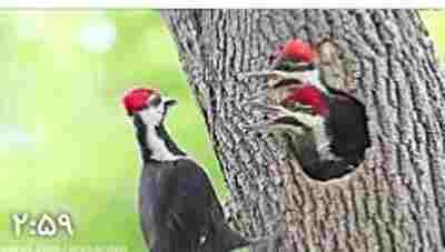 ویدئو کلیپ دارکوب کاکل دار و جوجه ها - دارکوب در جنگل