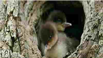 ویدئو کلیپ فیلم تماشایی سقوط جوجه اردک ها از ارتفاع 8متری