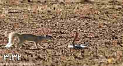ویدئو کلیپ خدنگ در مقابل مار کبرا - درگیری مار و خدنگ