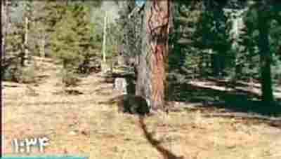 ویدیو کلیپ جنگ خرس گریزلی و یوز پلنگ - درگیری خرس و پلنگ - مبارزه خرس و پلنگ