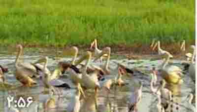 ویدئو کلیپ مرداب گورَنگوزا - حیات وحش مرداب گورَنگوزا