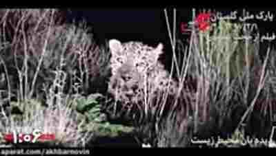 ویدئو کلیپ فیلمبرداری از یک پلنگ جسور ایرانی - پلنگ ایرانی