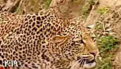ویدیو کلیپ پلنگ و آهو - حمله پلنگ به آهو - شکار پلنگ
