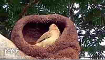 کلیپ پرنده معمار - هورنرو حنایی Rufous hornero + ویدئو