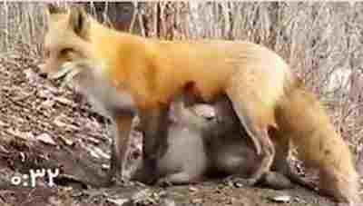 کلیپ شیر دادن روباه به توله خرس + ویدئو