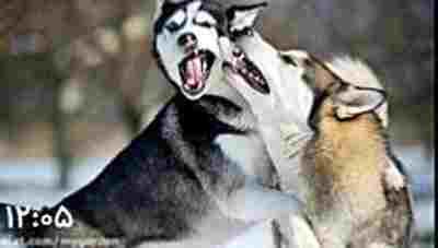 ویدیو کلیپ بیست و پنج نژاد خطرناک سگ - مستند سگ های خطرناک
