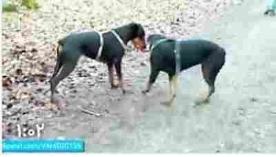 ویدئو کلیپ جنگ و نبرد دیدنی بین سگ های وحشی