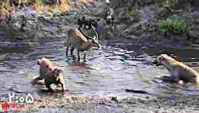 ویدئو کلیپ آهو در مقابل گله سگ وحشی - مبارزه سگ های وحشی با آهوی بینوا