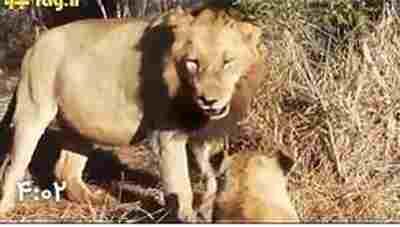 ویدئو کلیپ تنبیه شدید شیر نر توسط شیرهای ماده