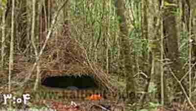 کلیپ پرنده عجیب -مرغ کریچ ساز واگلکوپ Vogelkop bowerbird + ویدئو