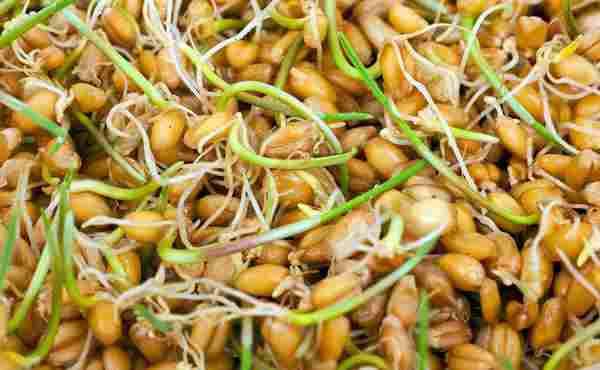 خواص جوانه گندم در طب سنتی+ ویدئو