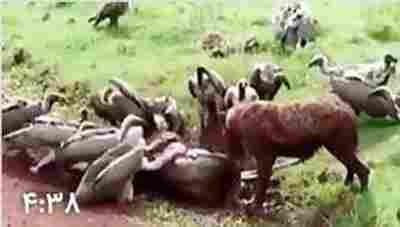 کلیپ زنده خواری وحشتناک گاو وحشی در حال زایمان توسط کفتارها + ویدئو