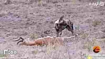 ویدیو کلیپ آهویی که با شکم پاره تا لحظه آخر با سگهای وحشی جنگید