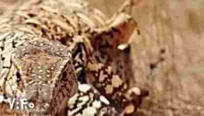 ویدئو کلیپ وارثان زنده دایناسورها - دایناسورهای زنده در جهان