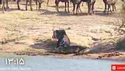 ویدیو کلیپ لحظات شگفت انگیز مبارزه حیوانات وحش 2018 - مبارزه حیوانات برای نجات جان - درگیری حیوانات با هم