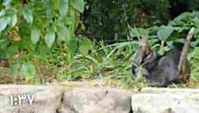 ویدیو کلیپ استراتژی جالب یک گربه برای شکار کبوتر - شکار کبوتر توسط گربه