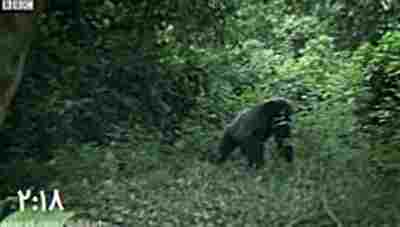 حمله وحشتناک گوریل ها به میمون ها-میمون خواری