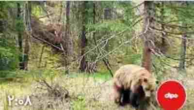 ویدیو کلیپ خرس گریزلی - حرکت جالب خرس گریزلی برای تعیین قلمرو