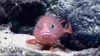 ویدئو کلیپ ماهی ای که پا داره و راه میره - ماهی پا دار