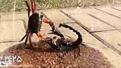 ویدیو کلیپ نبرد عقرب سیاه با خرچنگ هالووین - عقرب خطرناک