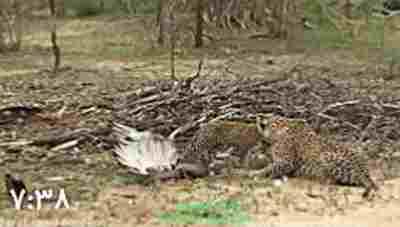 ویدیو کلیپ شکار عقاب توسط مار و حمله پلنگ به مار گیرافتاده