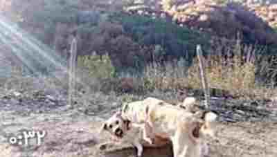 ویدیو کلیپ جنگ و نبرد دیدنی بین سگ های وحشی - مبارزه بین سگ های وحشی