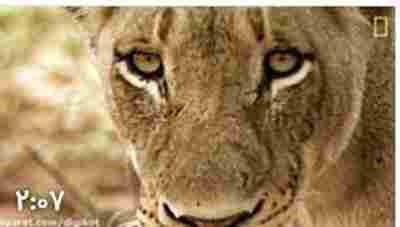 ویدیو کلیپ حمله شیرها به کفتار نگون بخت - جنگ شیر و کفتار