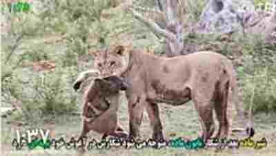 ویدیو کلیپ رفتار باورنکردنی شیر وحشی با شکار خود که به طور اتفاقی گرفته شده است