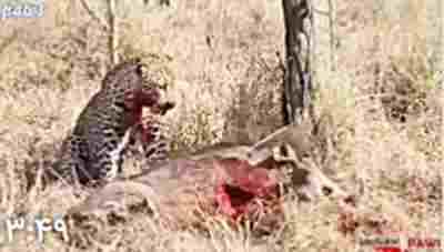کلیپ حمله پلنگ و زنده زنده خوردن گراز وحشی + ویدئو