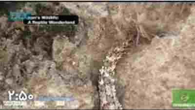 کلیپ أفعى دم عنكبوتى خطرناكترین ماردنیا + ویدئو