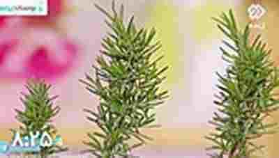 کلیپ آشنایی با گیاهان دورکننده حشرات + ویدئو