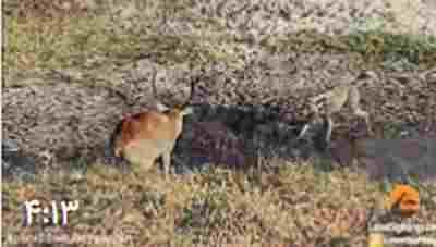 کلیپ کفتار و دزدی از شکار سگ های وحشی + ویدئو