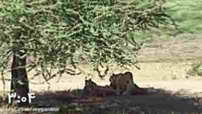 کلیپ شکار گور خر - شکار گوره خر توسط شیر + ویدئو