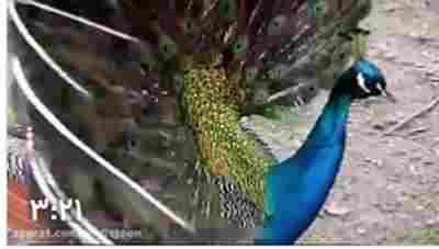 کلیپ زیبایی چشم نواز طاووس - زیباترین پرنده دنیا + ویدئو
