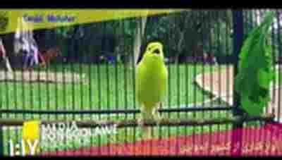 کلیپ آواز زیبای قناری در پارك + ویدئو